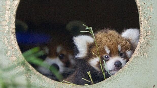 Red pandas at Winnipeg's Assiniboine Park Zoo, where Phoenix was born.