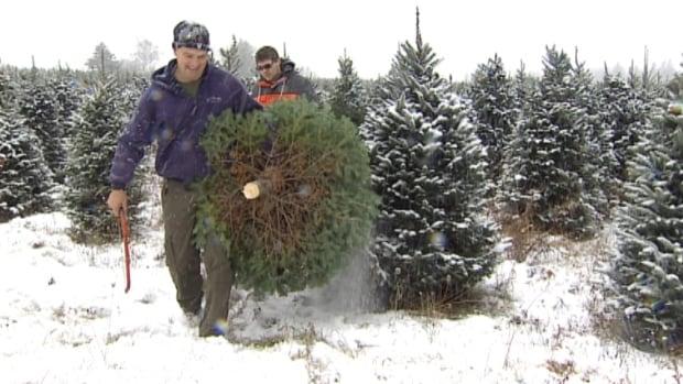 Nova Scotia Drought Blamed For Christmas Tree Seedling Die Off  - Christmas Tree Seedlings
