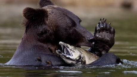 Future of B.C.'s grizzly trophy hunt uncertain as fall hunt approaches