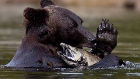Grizzly bear near Bella Coola