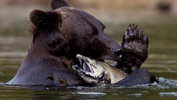 A grizzly bear is seen with a salmon it just caught along the Atnarko river in Tweedsmuir Provincial Park near Bella Coola, B.C., in 2010. Researchers at the University of Victoria say an analysis of hair collected from 70 Central Coast grizzlies shows that those that consumed less salmon had higher levels of the stress hormone cortisol.