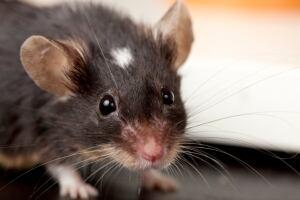mouse-portrait