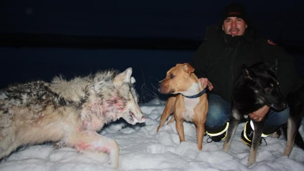 Two family dogs in Wrigley, N.W.T., Diesel, left, and Sydney, got into a melee with a pack of wolves on Sunday and took one down before their owner Wes Pellissey scared the wolves off.