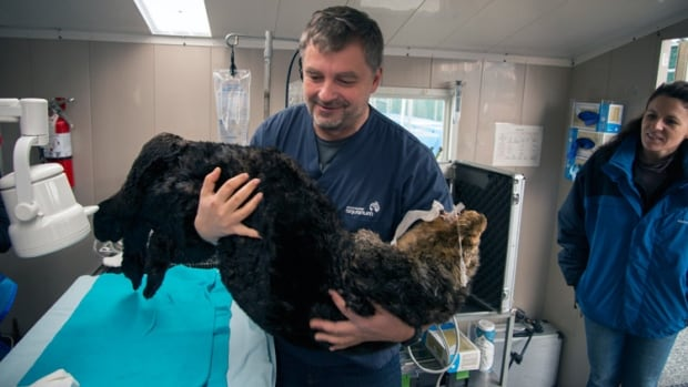 Dr. Martin Haulena of the Vancouver Aquarium carries Walter to the recovery area after the rescued sea otter underwent oral surgery to repair and extract teeth that were damaged by a shotgun blast.