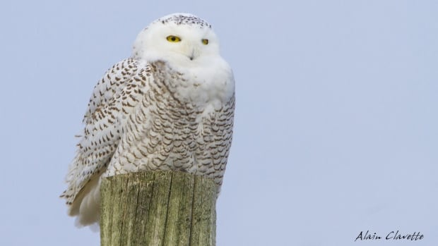 A snowy owl, like the one seen here, was found in Sudbury by police last week and rescued by a volunteer at the Wild at Heart Animal Refuge Centre. The centre said at this time, the recovering owl is still too weak to be photographed.