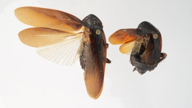 Periplaneta japonica (male left, female right) was first spotted in North America by an exterminator in New York City in 2012. Scientists say it's unlikely to interbreed with native species because different cockroach species have differently shaped genitals.
