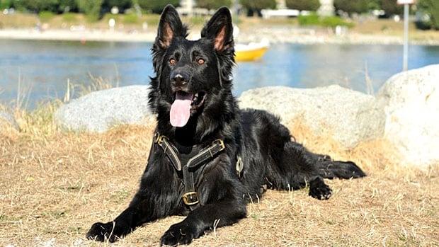 Vancouver police dog Shack was injured on Sunday night.