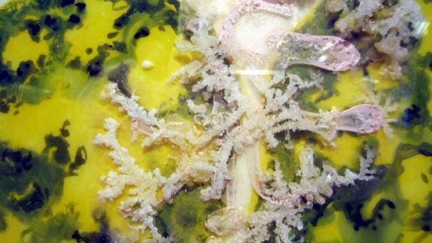 Elaine Whittaker: West Nile Virus, mylar, gouache, petri dish, 2013 from Toxicity exhibit at Videopool
