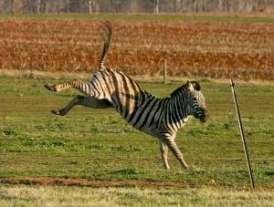 Zebra Rider