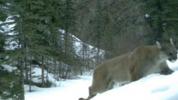 Alberta Fish and Wildlife officers confirm two cougars were euthanized in Canmore this morning.