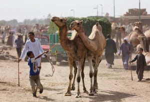 Infected Camels
