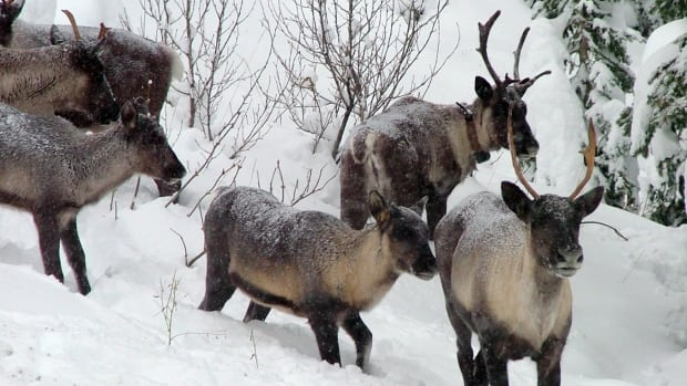 Woodland caribou are struggling to survive across Canada, according to a report issued today by the Canadian Parks and Wilderness Society.