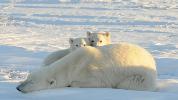 A World Wildlife Fund photograph taken along the western shore of Hudson Bay in November 2010 shows a female polar bear with two cubs near Churchill, Man.
