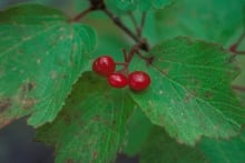 Highbush cranberry - USDA Forest Service