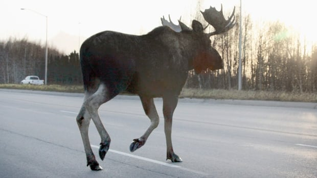 The accident occurred on Highway 16, about halfway between Fraser Lake and Burns Lake, when it seems the moose suddenly appeared from the ditch and jumped in front of the vehicle.