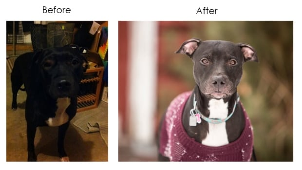 Holly Montgomery showcases the difference a professional photograph can make. She took the after shot of Gaia, a three-year-old pit bull whippet cross who was looking for a home.