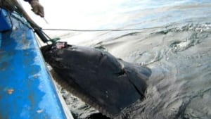 li-halibut-caught-file