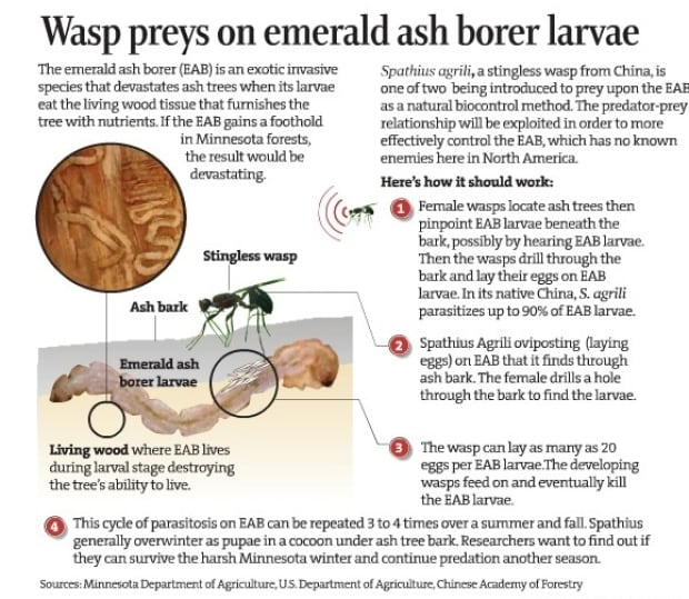 stingless wasp infographic