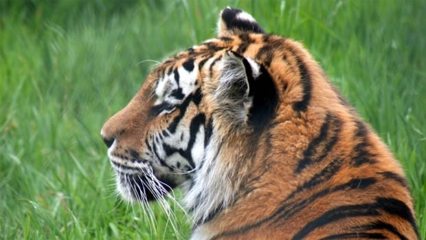 The 18-year-old Siberian tiger had already been through a month of veterinary treatment, including medication and appetite stimulants, but her condition continued to decline.