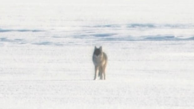 Sandra Lori says this wolf she photographed on Rainy River on Thursday might have been one of two wolves chasing a dog she later rescued.