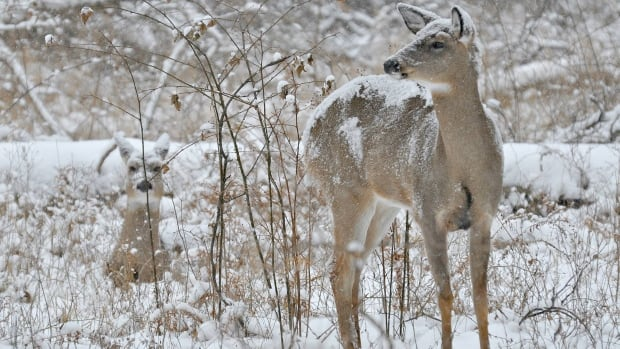 Mel Diotte snapped this shot of two deer in the snow while out for a walk New Year's Day.