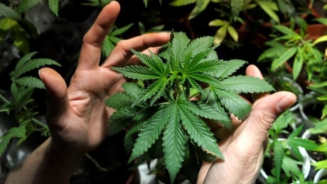 How do you negotiate a divorce when the 'family business' is illegal pot?