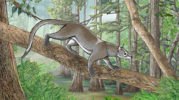 A reconstruction of the tree-dwelling Dormaalcyon latouri, a primitive ancestor to modern carnivorous mammals. Primitive carnivorous mammals date back 55 million years.