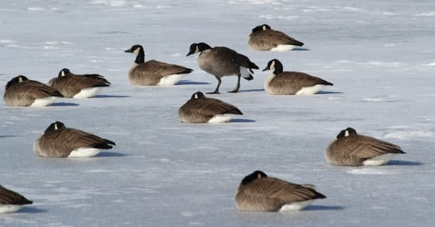 Cold Canada geese