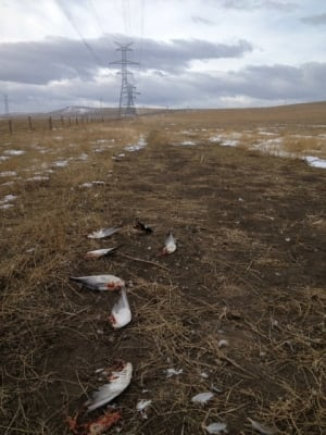 Dead ducks under power line