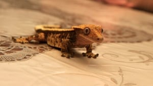 Dexter the gecko