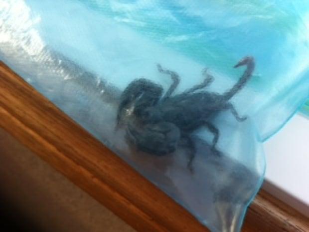 Scorpion in bag