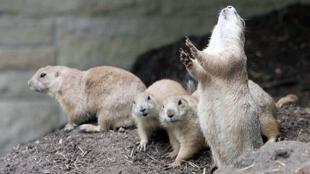 Prairie dogs assess the response time of others in their community by determining how long it takes for others to chirp back.