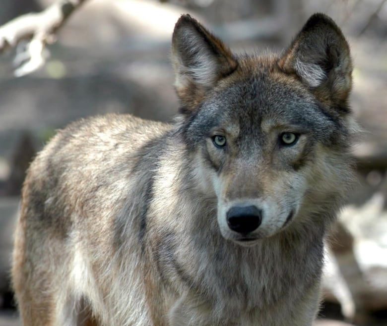 Wolves on B.C.'s islands, mainland genetically different