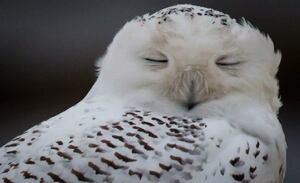Snowy Owl Wow 20121203