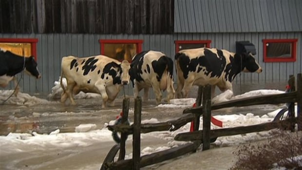 Flooding left cows at a Cookshire-Eaton farm in the Eastern Townships standing in a metre of cold water and losing their footing on the ice beneath.