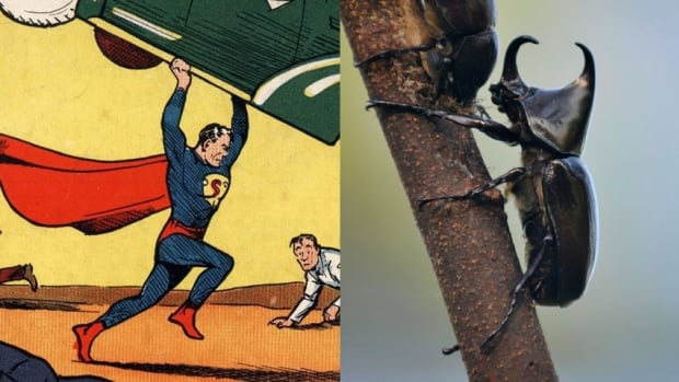 Superman, featured on the cover of Action Comics No. 1, demonstrates the same kind of super strength as a rhinoceros beetle, which can carry up to 850 times its own body weight.