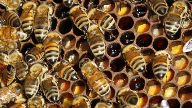 Scientists are investigating honey bees for what's called colony collapse disorder.