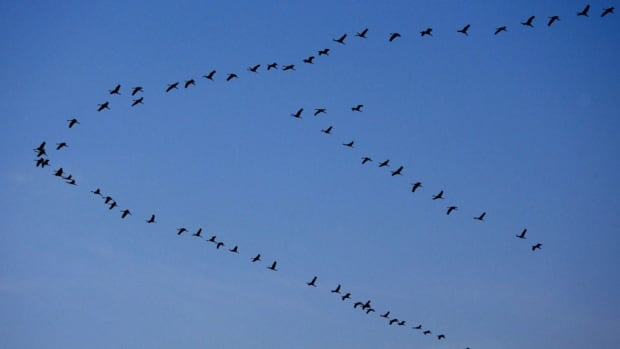 Scientists using GPS trackers on a flock of ibises finally have evidence that birds fly in a V formation pattern in order to exploit updrafts created by birds in front of them.