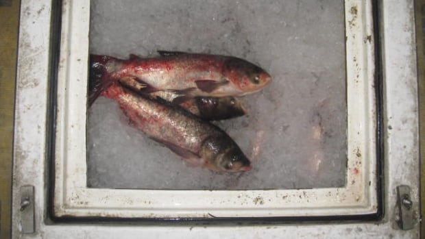 An Edmonton, Alberta, trucking company and a Markham, Ontario, truck driver have been fined $75,000 for possessing live Asian carp in Ontario.