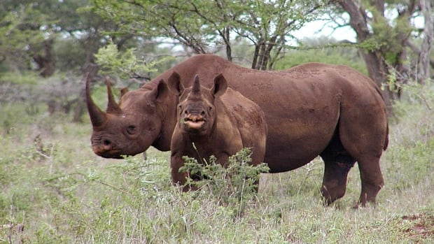 South Africa's department of environmental affairs said Friday that the number of rhinos killed for their horns topped a record 1,000 in 2013.