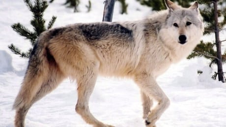 how 31 alberta wolves changed the natural balance of yellowstone national park