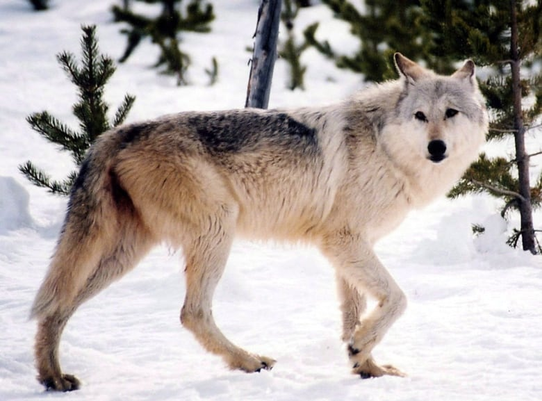 Increase Wolf Cull Pen Pregnant Cows To Save Endangered Caribou