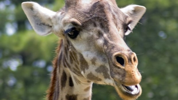 The oldest giraffe in a Canadian zoo died Monday afternoon at the age of 30, the Toronto Zoo said in a Facebook post mourning Ginetta.
