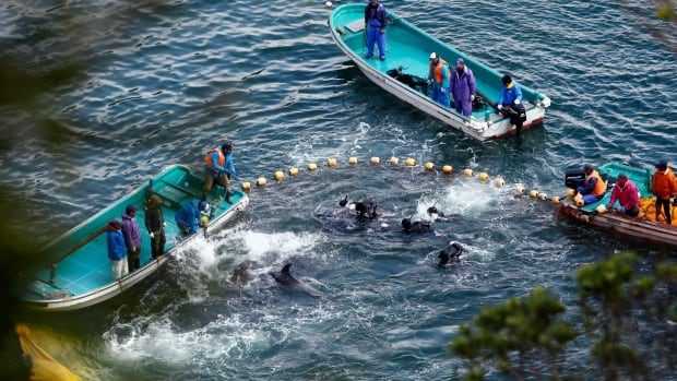 U.S. Ambassador to Japan Caroline Kennedy tweeted that she was deeply concerned by the inhumanity of dolphin fishing in Japan. Here, fishermen net dolphins at a cove in Taiji, Japan, on Jan. 20.