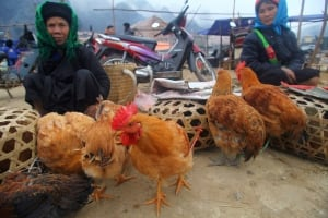 Vietnam Bird Flu