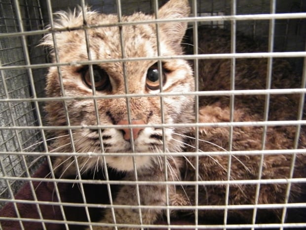 Bobcat in the cage