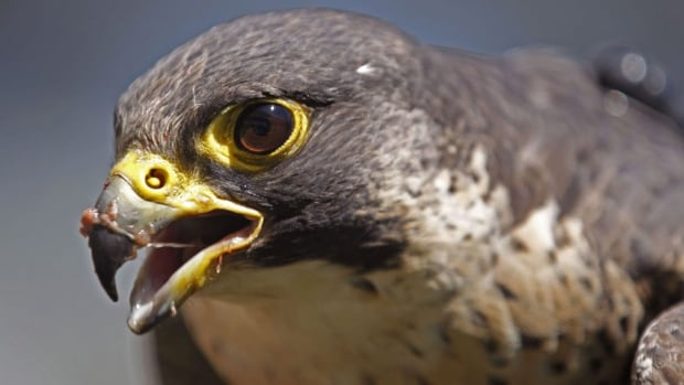 Before Richard Fyfe's controversial captive breeding program, Canada's peregrine falcon populations were on the brink of extinction.