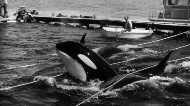 In this Aug. 8, 1970, photo provided by Wallie Funk, members of the Southern Resident Killer Whales' L-pod are held captive in Penn Cove, off Whidbey Island, Wash. Seven of the dozen whales captured, including one later named Lolita, were sold to marine parks around the world. Five of the captured whales drowned.
