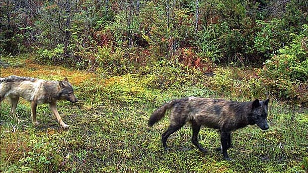 Five wolves roam Tofino's Long Beach