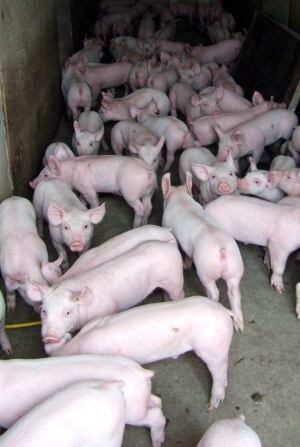 Canada Pig Virus 20140127
